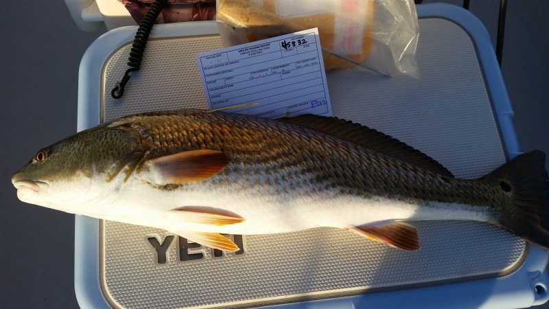 Tailing Red fish tagged for DNR