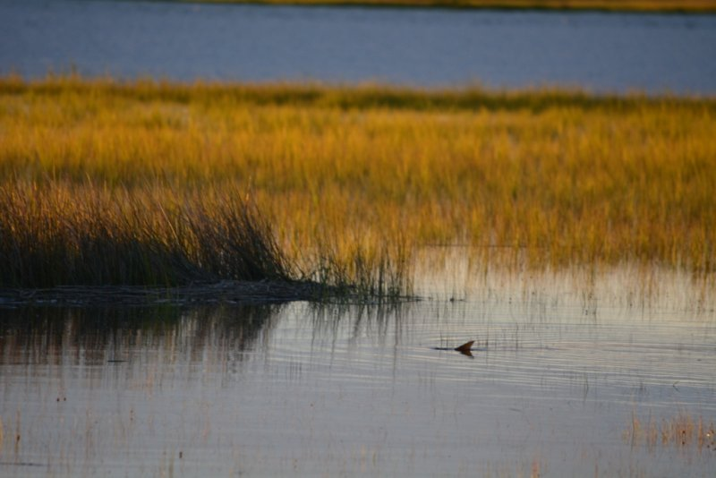 tailing red fish marsh
