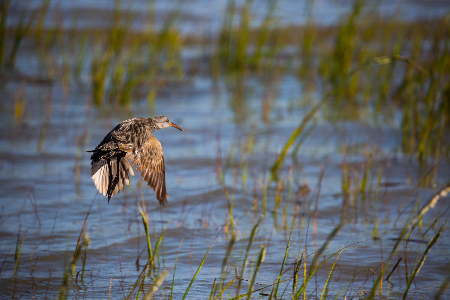Marsh Hen taking off