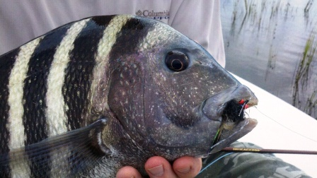 compressed-sheepshead-on-a-fly_1